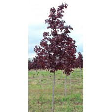 Acer Crimson King (Copper Norway maple)