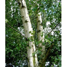 Betula pendula (Common Silver Birch)