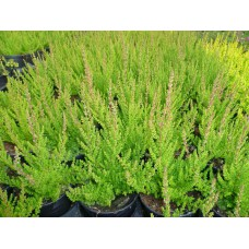 Calluna vulgaris 'Dark Star'