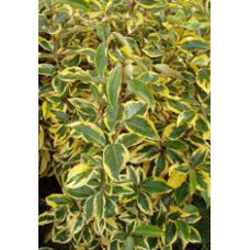 Elaeagnus Gilt Edge