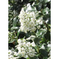 Escallonia Donard White