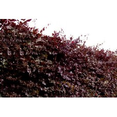 Fagus sylvatica purpurea (Copper Beech Hedging)