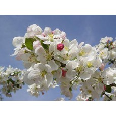 Malus Evereste (Flowering Crab Apple)