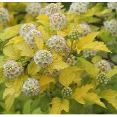 Physocarpus opulifolius Darts Gold
