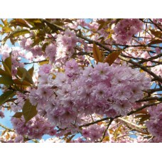 Prunus Kanzan (Flowering Cherry)