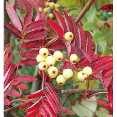 Sorbus auc. Joseph Rock (Yellow Berry Rowan)